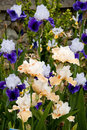 Purple and peach irises Stock Photo