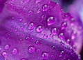 Purple petal Royalty Free Stock Images