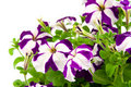 Purple petunia Royalty Free Stock Photos