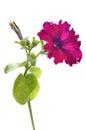 Purple petunia flower Royalty Free Stock Photo
