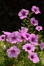 Purple petunia flowers in a garden Royalty Free Stock Photography
