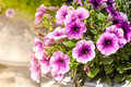 Purple petunia flowers in the garden Royalty Free Stock Photo