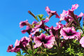 Purple petunia flowers over blue sky Royalty Free Stock Photo