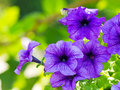 Purple petunias a cluster of hanging on tree close up Stock Images