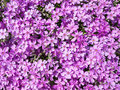 Purple phlox flower pink flowers on a garden background Royalty Free Stock Image