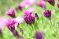 Purple and pink daisies Royalty Free Stock Image