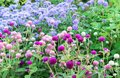 Purple and pink flowers Globe amaranth or Gomphrena globosa Royalty Free Stock Photo