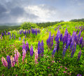 Purple and pink garden lupin flowers Royalty Free Stock Photos