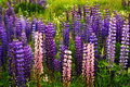 Purple and pink garden lupin flowers Royalty Free Stock Photography