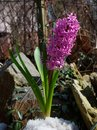 Purple pink hyacinth flower on spring stony meadow Royalty Free Stock Photo