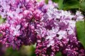 Purple and pink lilac flowers in a spring garden. Romantic season background.