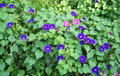 Purple and Pink Morning Glories Royalty Free Stock Photo
