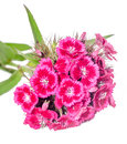 Purple pink purple dianthus flowers close up Stock Images