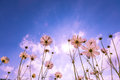 Purple pink red cosmos flowers in the garden with blue sky and sunlight background vintage style soft focus Stock Image