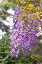 Purple pinkish wisteria and pink shallow focus Royalty Free Stock Photos