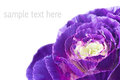 Purple plant ornamental cabbage vegetation with isolated white text space Stock Image