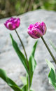 Purple tulips on rock background with selective focus Royalty Free Stock Photo