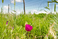 Purple prairie mallow kansas pasture flower in grassland Stock Image