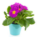 Purple Primula in blue flower pot Stock Images