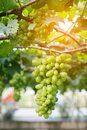 Purple red grapes with green leaves on the vine. fresh fruits Royalty Free Stock Photo