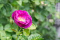 Purple rose background with green nature Stock Photos