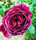 Purple rose in bloom Royalty Free Stock Photo
