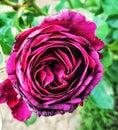Purple rose in bloom