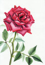 Purple rose watercolor painting