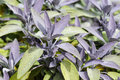 Purple sage close up of herb grwoing in herb garden Royalty Free Stock Photography