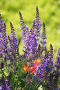Purple sage salvia with green background close up of meadow and red in Royalty Free Stock Photography