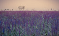 Purple sage at sunset in full bloom Royalty Free Stock Images