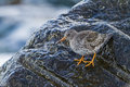 Purple sandpiper in lithuania a show up klaipeda during annual birding rally Stock Photos