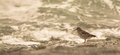 Purple Sandpiper and waves Royalty Free Stock Photo