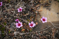 Purple saxifrage blossoming in the summer moss arctic tundra Stock Image