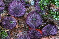 Purple Sea Urchins Royalty Free Stock Photo
