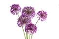 Purple Sensation Allium Royalty Free Stock Photo
