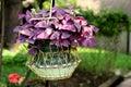 Purple shamrock oxalis hanging in metal basket Royalty Free Stock Photos