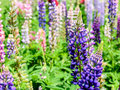 Purple snapdragon flower in spring Royalty Free Stock Photography