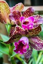 Purple Spotted Orchid Plant Bl...