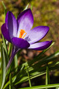 Purple spring crocus in March Royalty Free Stock Image