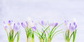 Purple spring crocuses flowers on light blue background nature or gardening concept Stock Photo