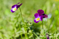 Purple spring flowers pansy closeup of pansies on a green grass background Royalty Free Stock Photo