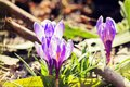 Purple spring flowers. Violet crocuses in the rays of the morning sun