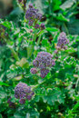 Purple sprouting broccoli close detail of flowers of growing in spring Stock Image