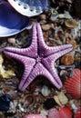 Purple Star Fish on Shells Royalty Free Stock Photo