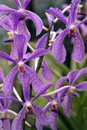 Purple Star Orchids Royalty Free Stock Photo