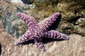 Purple Starfish Royalty Free Stock Photos