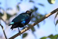 Purple starling Stock Photos