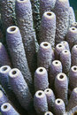 Purple stove pipe sponge Royalty Free Stock Photo