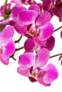 Purple Striped Dendrobium Orchid Royalty Free Stock Image